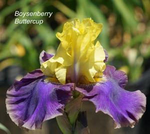 Boysenberry Buttercup