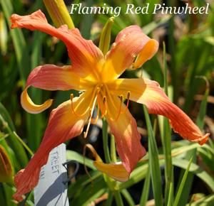 Flaming Red Pinwheel
