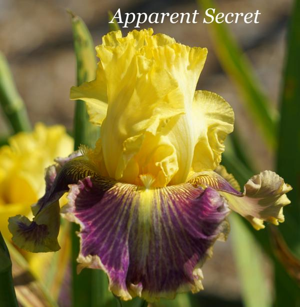 Apparent Secret 001